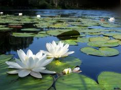white lotus flowers in pond. Image Beautiful, Beautiful Flowers, White Lotus Flower, Lotus Flowers, Lotus Flower Pictures, Lily Painting, Lotus Pond, Lily Pond, Water Flowers