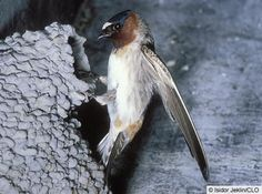 Cliff Swallow - Google Search
