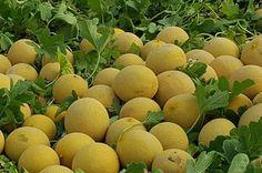 La evolución del melón 'Brisa' es 'MLN72' #agricultura #agriculture #greenhouse #melon