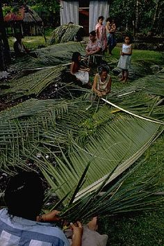 Samoans weave palm leaves for use as thatch on hut roofs in Fitiuta Village on Tau Island, American Samoa. | Location: Fitiuta Village, Tau Island, Manua Group, American Samoa. Date Photographed:ca. 1971 Photographer:Morton Beebe Location:American Samoa