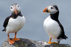 http://quillcards.com/blog/wp-content/uploads/2012/08/puffins-on-the-isle-of-may-04.jpg