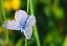 An alice blue moth.