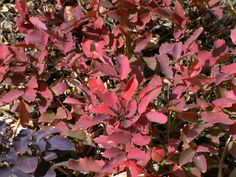 Mahonia repens (Creeping Grapeholly) - Similar in all respects to other mahonias, except in 1' tall groundcover form.  Additionally, the leaves turn deep pink in winter instead of purple.  A real stand out dappled with snow and a rare pop of winter colour. Hardy from at least zone 5b