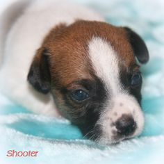 Hobbit Hill Jack Russell Terriers