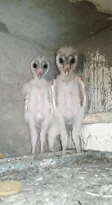 Https Www Facebook Com Barn Owl Baby Barn Owl Owl