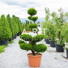 Arbre nuage Juniperus Fitzeriana 160/180 cm Container 90L