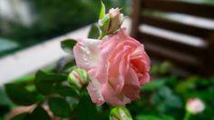 Roses in rain