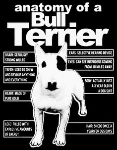 Life with a Bull Terrier Tattoo Bull Terrier, Bull Terrier Funny, Mini Bull Terriers, English Bull Terriers, Pitbull Terrier, Staffordshire Bull Terrier, Dog Suit, Bully Dog, Fauna