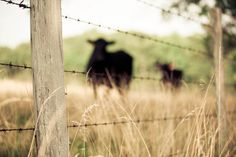 Big pastures with pretty fences & Angus cattle