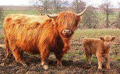 Scotland's Highlands cow and calf
