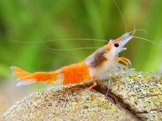 Aquarium Filters And Aquarium Supplies Brine Shrimp, Prawn Shrimp, Aquarium Shop, Aquarium Fish, Amano Shrimp, Betta Fish Types, Shrimp Tank, Aquarium Supplies, Nano Tank