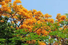 หางนกยูงสีทอง สวนสมเด็จ กทม.