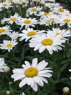 "Chrysanthemum Snowcap, late spring - mid-summer, 14"""