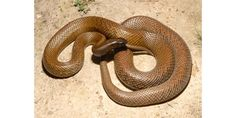 Fake - Pinned as a 55' snake (Mislinked to this image and story  http://www.hoaxorfact.com/Science/55-feet-snake-found-in-forest-of-malaysia.html which is another exaggerated story) - This is a well known picture of an Inland Taipan Snake which is one of the most poisonous creatures on earth. It usually is about 6' long. https://en.wikipedia.org/wiki/Inland_taipan