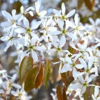 Amelanchier canadensis (Juneberry) Potted