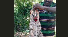 A poacher posing with a dead fishing cat  India: stop fishing cat poaching now! https://www.rainforest-rescue.org/petitions/1014/india-stop-fishing-cat-poaching-now?t=361 via @RainforestResq