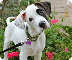 great dane mix pupppies CA | Boxer/Great Dane Mix Puppy for adoption in Los Angeles, California ...
