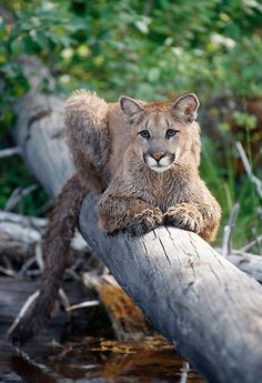 Cougar Laying On Log Over River Montana