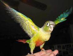 Q: How To Potty Train a Green Cheek Conure? Conure Cage, Conure Bird, Parrot Pet, Parrot Toys, Pineapple Conure, Crazy Bird, Bird Toys, Colorful Birds, Potty Training