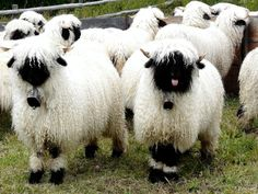Meet what must be the most adorable sheep in the world – and possibly one of the cutest animals in existence, the Valais Black Nose sheep.