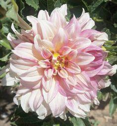 ...y entonces en medio de todo  floreció!! . Esta es la primera dalia café u lait de mi huerto! . . . . . . . . #enelbosque #enelbosqueflorece #flowers #flores #flower #flor #naturaleza #nature #naturelovers #plantslovers #plantas #florist #farmer #farmerflorist #dalia #dahliacafeauleit #dahlia #natura #natureshots #naturalezaperfecta #naturalezaviva #fragilidad #inspiration #inspiracion #flowermagic #floweroftheday #instagood