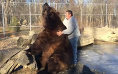 This man plays with a giant grizzly bear as if it were a cute pet.