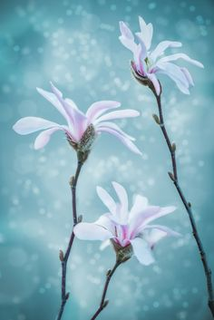 magnolia trio by Marcus Hennen on 500px