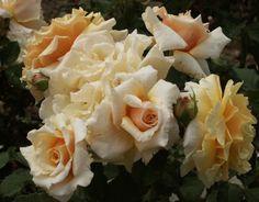 Caramella Fairy Tale (Palatine Roses)