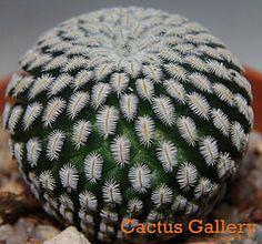 mammillaria pectinifera Cactus Gallery