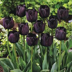 Queen of Night Tulip     ..............     A rare, unique colour for your garden! Velvety, deep maroon-black blooms on sturdy stems provide sensational contrast in borders and arrangements... the center of attention whatever displayed. Very long lasting. -     -     -     See more at: http://www.brecks.com/product
