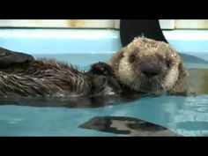 An orphaned baby sea otter has found a home forever. The 10-week-old sea pup was discovered stranded on a beach due to strong El Niño waves on Jan. 6, in Caramel, California, where it was rescued by the Monterey Bay Aquarium.Finally, with approval from theU.S. Fish and Wildlife Service, the sea otter was flown to Chicago'sShedd Aquarium, where it now leads a happy life. According to the Shedd Aquarium, the sea otter, named Pup 719, for now, has been adjusting to her new surroundings…
