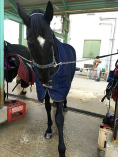 Leone, dalle 15:00 al 5 febbraio 2016 venerdì per il corso II con istruttrice Matsuo e gli altri 2 cavalli; Ramses e Anderico. Abbiamo fatto il circolo a 20 metri con Lead change a S.