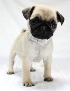 My niece, Georgia Jane in Italian jewelry from Silver Linings (www.silverliningsmd.com). She belongs to @Teresa Vlahovich. #pug #puppy #silverlinings
