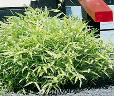 DWARF BAMBOO.  PARTIAL TO FULL SUN.  1 FT TALL. AGGRESSIVE.    Full Shot :: Credit: Hort Printers