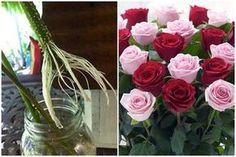 Gyökereztesd az ajándékba kapott rózsaszálakat! - Egy az Egyben