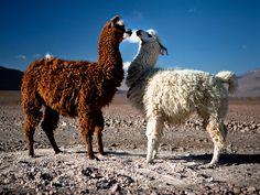 Bolivia  Photograph Kuba Los, My Shot    Llamas at Eduardo Avaroa Andean National Fauna Reserve in southwestern Bolivia