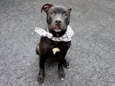SAFE - 02/07/15 by Amsterdog Animal Rescue Manhattan Center   PETEY - A1025741  MALE, BLACK, AM PIT BULL TER, 1 yr STRAY - STRAY WAIT, NO HOLD Reason STRAY  Intake condition EXAM REQ Intake Date 01/17/2015,  https://www.facebook.com/photo.php?fbid=948024645210415