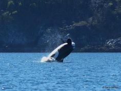 BigBoyBlackFish! by Aboriginal Journeys - Whale Watching & Grizzly Bear Tours