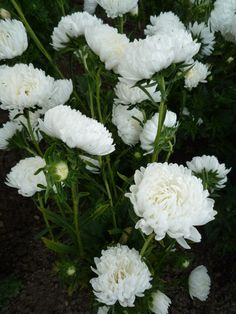 Aster 'Tower white'
