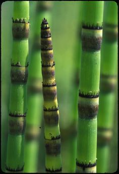 Rough horsetail; UT Gardens - Knoxville, TN (April 5, 2005)