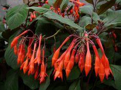 kyynelverenpisara - Fuchsia Triphylla-Ryhmä Planting Flowers, Plants, Lawn And Garden, Plant, Planets