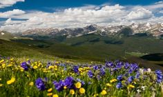 Breckenridge Colorado Wildflowers