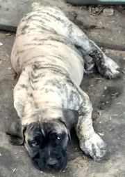 South African Mastiff Puppy - Cream Brindle