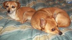 02/06/16-Pixie and Paquito is an adoptable Dachshund, Chihuahua Dog in Coal City, WV STEPS FOR ADOPTION.Hi, my name is Pixie AND I AM PART OF A BONDED PAIR AND MUST BE ADOPTED WI ... ...Read more about me on @petfinder.com
