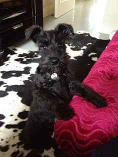 Black mini schnauzer Peggy Sue!!!!!