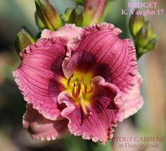 Daylily WIDGET