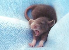 Rat baby with Dumbo ears.I dont like rats, but this is adorable Hamsters, Rodents, Baby Mouse, Cute Mouse, Cute Baby Animals, Funny Animals, Small Animals Pets, Dumbo Ears, Baby Dumbo