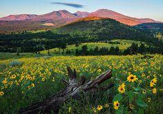 Sunflower Power, near Flagstaff, Arizona, by Guy Schmickle, via Flickr