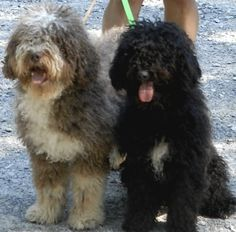 Spanish Water Dog - Isn't it the same as the Portuguese Water Dog? Either way, beautiful! Silly Dogs, Cute Cats And Dogs, Dogs And Puppies, Doggies, Spanish Water Dog, Group Of Dogs, Portuguese Water Dog, Dogs Of The World, Dog Breeds