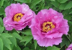 Peach Blossom Complexion 3 yr. old Chinese tree peony